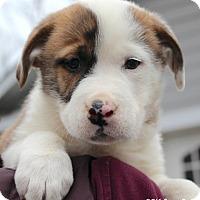 Adopt A Pet :: Liam - Bedford, VA