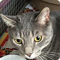 Domestic Shorthair Cat for adoption in Trevose, Pennsylvania - Happy