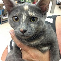 Adopt A Pet :: Chai - Royal Palm Beach, FL