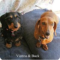Adopt A Pet :: Buck (Buckaroo) - Tucson, AZ