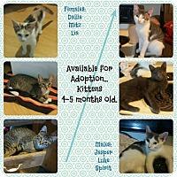 Domestic Shorthair Kitten for adoption in Okmulgee, Oklahoma - Kittens