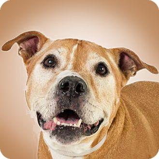 Pit Bull Terrier Mix Dog for adoption in Prescott, Arizona - Bruno