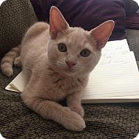 Adopt A Pet :: Blossom - Toronto, ON