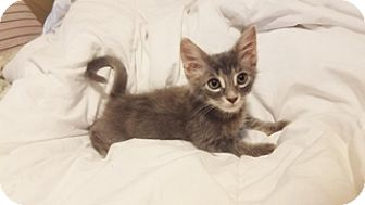 Maine Coon Kitten for adoption in Cerritos, California - Snoopy