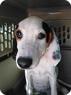 Treeing Walker Coonhound Puppy for adoption in El Cajon, California - Coonhound puppy 4