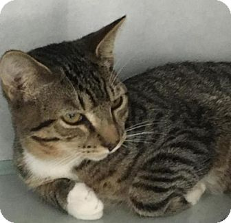 Domestic Shorthair Cat for adoption in Manteo, North Carolina - Boba