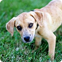 Adopt A Pet :: PUPPY CRISSY - Washington, DC