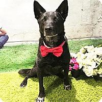 Adopt A Pet :: Bacardi - Lovely Formosan Girl - Seattle, WA
