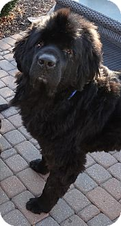Newfoundland Dog for adoption in batlett, Illinois - Tonka