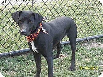 Labrador Retriever Dog for adoption in West Los Angeles, California - Batman