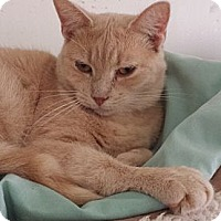 Adopt A Pet :: Butterscotch - Orillia, ON