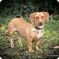Adopt A Pet :: Dolly - San Jose, CA