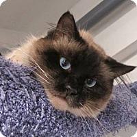 Adopt A Pet :: Maestro - Davis, CA