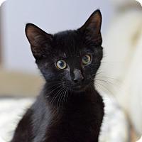 Adopt A Pet :: Blitzcrank - St. Louis, MO