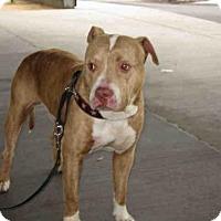 Adopt A Pet :: A1570862 in Danger @ South LA - Beverly Hills, CA