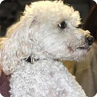 Adopt A Pet :: Beau - Walnut Creek, CA