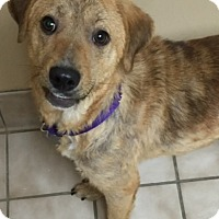 Adopt A Pet :: Olivia - Knoxville, TN
