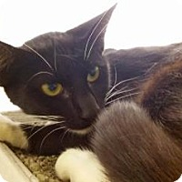 Domestic Shorthair Cat for adoption in Cumming, Georgia - Ruthie