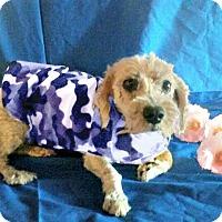 Adopt A Pet :: Diamond - Redondo Beach, CA