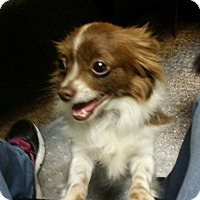 Adopt A Pet :: Cha-Cha - DFW, TX