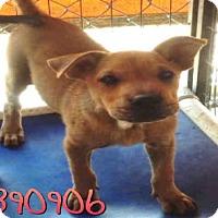 Adopt A Pet :: A390906 - San Antonio, TX