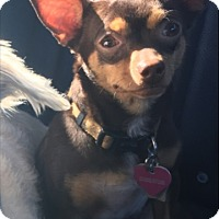 Adopt A Pet :: Cookie Dough (bonded pair) - Las Vegas, NV