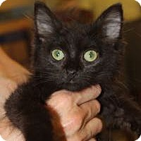 Domestic Shorthair Kitten for adoption in Louisville, Kentucky - Wesley