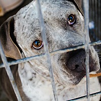 Blue Heeler/Pit Bull Terrier Mix Dog for adoption in Odessa, Texas - Jazzy