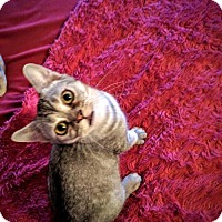 American Shorthair Kitten for adoption in Glendale, Arizona - Jesse