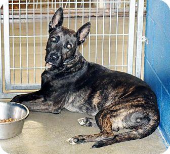 Shepherd (Unknown Type)/Dutch Shepherd Mix Dog for adoption in San Jacinto, California - Venus