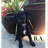 Adopt A Pet :: B.A. - Cleveland, OK