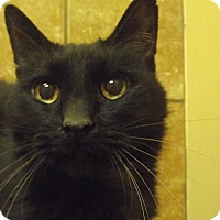 Domestic Shorthair Cat for adoption in Appleton, Wisconsin - Toby *Petsmart GB*