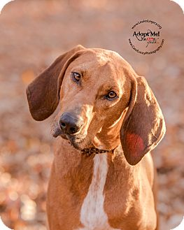 Bloodhound/Redbone Coonhound Mix Dog for adoption in Cincinnati, Ohio - Kelso