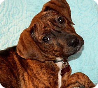 Boxer Mix Dog for adoption in Grafton, Wisconsin - Carrie