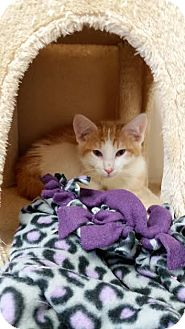 Domestic Shorthair Kitten for adoption in Chippewa Falls, Wisconsin - Ross