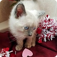 Adopt A Pet :: Elsa Cat - Dallas, TX