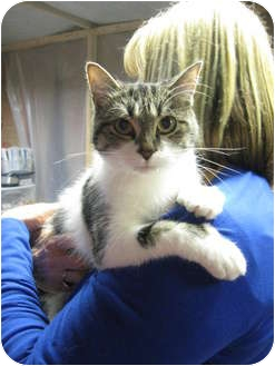 Domestic Shorthair Cat for adoption in Centerburg, Ohio - Emmie