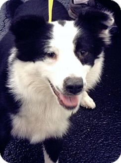 Border Collie Mix Dog for adoption in Gainesville, Florida - Shotgun