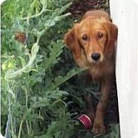 Adopt A Pet :: Shasta - Denver, CO