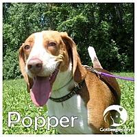 Adopt A Pet :: Popper - Novi, MI