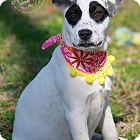 Adopt A Pet :: Black Eyed Suzi - Albany, NY