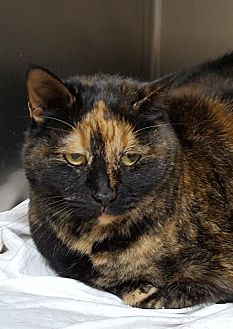 Domestic Shorthair Cat for adoption in Lago Vista, Texas - Sable