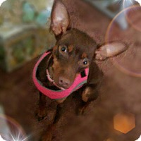 Adopt A Pet :: Mia Grace - Syracuse, NY