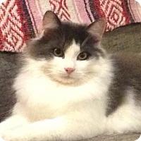 Adopt A Pet :: Bogart - Thornhill, ON