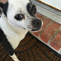 Chihuahua Dog for adoption in Killian, Louisiana - Finley