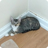 Domestic Shorthair Kitten for adoption in Plantsville, Connecticut - Kaylee