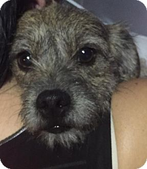 Terrier (Unknown Type, Medium)/Dachshund Mix Dog for adoption in Dana Point, California - Dusty