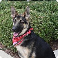 German Shepherd Dog Puppy for adoption in Greensboro, North Carolina - Legend