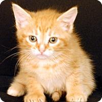 Domestic Shorthair Kitten for adoption in Newland, North Carolina - Roan