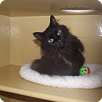 Domestic Mediumhair Cat for adoption in Appleton, Wisconsin - Almond *Petsmart GB*